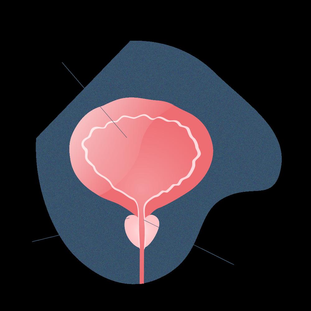 próstata sana
