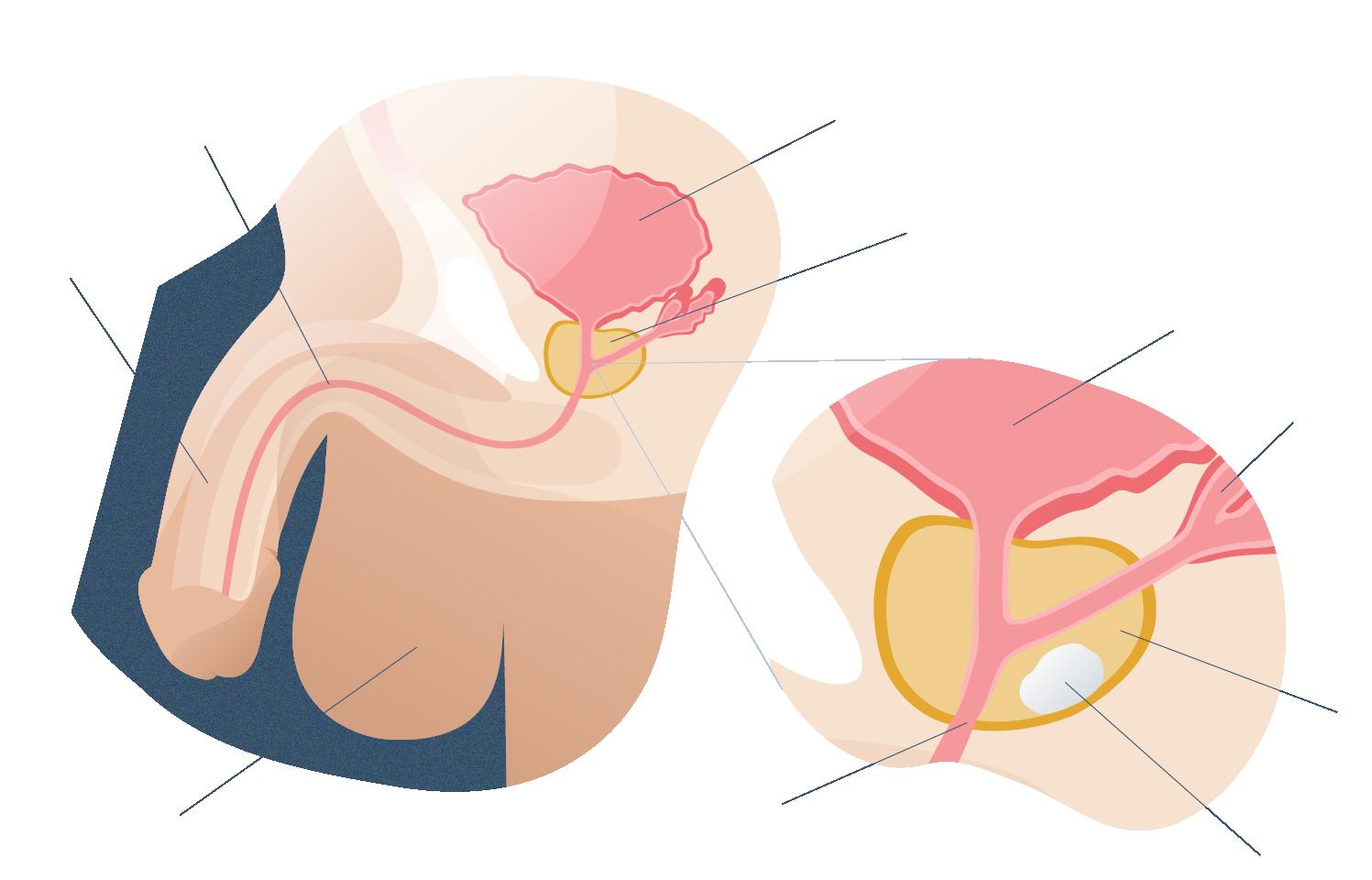 Anatomía de la próstata y cáncer